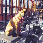 Fenway works out in his local high school's weight room.