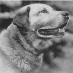 Chinook, founding sire of the Chinook Breed