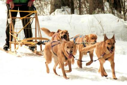 Chinook sled dog team